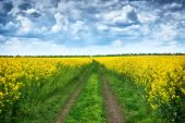 ground road in rapeseed yellow flower field, beautiful spring landscape