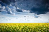 rapeseed yellow flower field in spring season, beautiful landscape