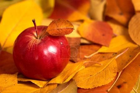 Apple closeup on fallen leaves background, autumn season