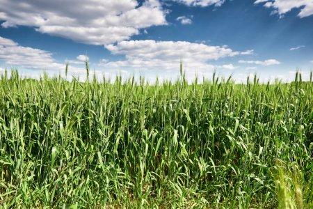 Foto de Campo de trigo de primavera, paisaje, pasto verde y cielo azul con nubes - Imagen libre de derechos