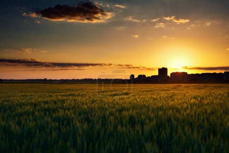 Photo for Beautiful sunset in the field with houses silhouette on the horizon, summer landscape, bright colorful sky and clouds as background, green wheat - Royalty Free Image