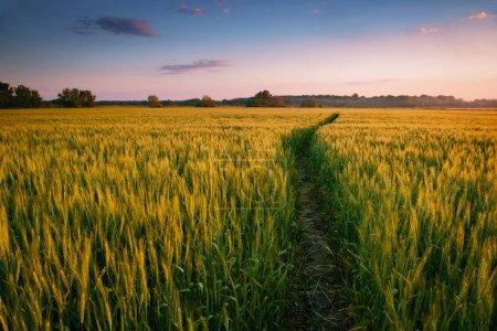 Photo pour Beau coucher de soleil sur terrain avec sentier, paysage printemps, coloré ciel et les nuages comme blé de fond, vert - image libre de droit