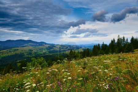 Photo for Sunset in carpathian mountains - beautiful summer landscape, spruces on hills, cloudy sky and wildflowers. - Royalty Free Image