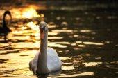white swan swimming with sunset bokeh