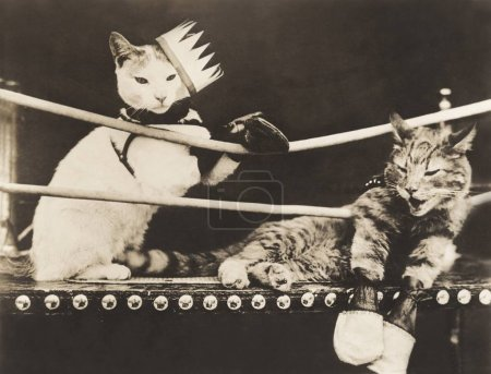 Photo for Winner cat with knocked out partner in boxing ring - Royalty Free Image