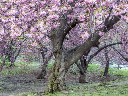 Photo pour Prunus serrulata est une espèce de cerisier originaire du Japon, de Corée et de Chine, appelée aussi cerisier de la colline, cerisier oriental ou cerisier d'Asie orientale. . - image libre de droit