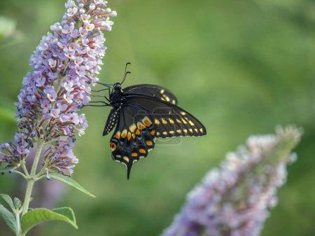 Photo pour Papilio polyxènes, hirondelle noire de l'Est, hirondelle d'Amérique ou hirondelle du panais - image libre de droit