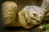 Giant grey tortoise