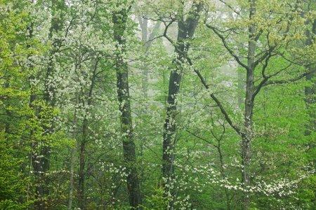 Photo pour Paysage boisé de printemps dans le brouillard, kellogg forest, michigan, Etats-Unis - image libre de droit