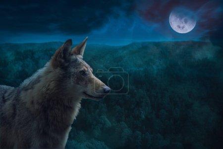 Photo pour Loup Alpha gris au cours de la nuit de pleine lune dans le désert. - image libre de droit