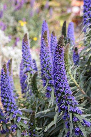 Photo pour Lila fleur bleue - la fierté de Madère (echium candicans) en pleine fleur - image libre de droit