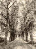 Lane oak trees