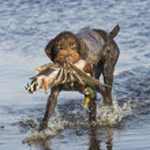 A duck hunting dog with a Mallard Duck...