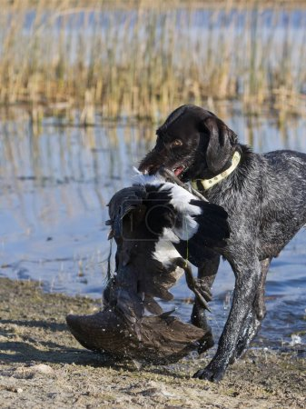 A hunting dog with a Canada Goose...