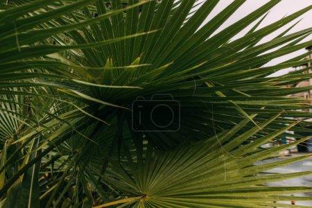 Photo pour Feuilles de palmier tropicales et vertes en été - image libre de droit