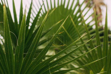Photo pour Foyer sélectif de feuilles de palmier tropicales et vertes - image libre de droit