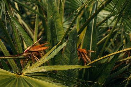 Photo pour Des feuilles de palmier vertes et fraîches - image libre de droit