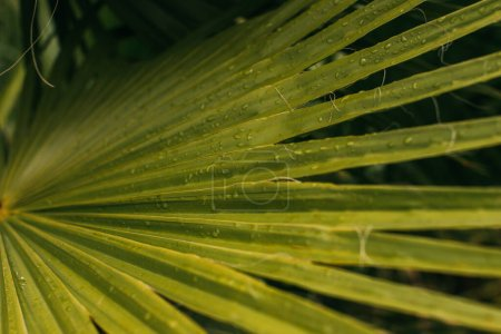 Photo for Close up of wet and green palm leaf - Royalty Free Image