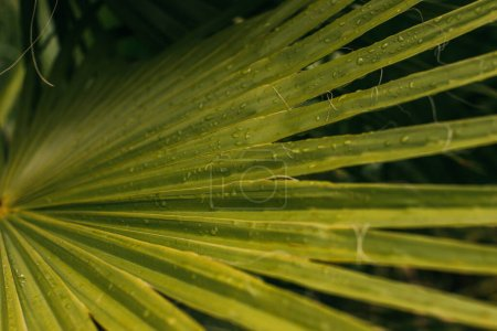 close up of wet and green palm leaf