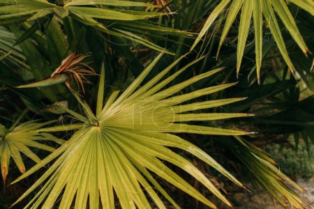 top view of tropical and green palm leaves