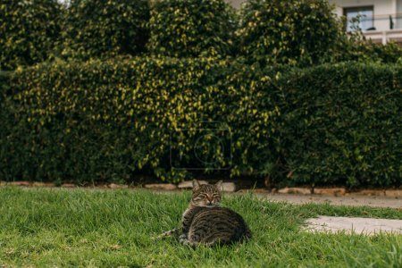 Photo for Selective focus of cute cat lying on green grass - Royalty Free Image