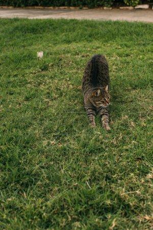 Photo pour Mignon chat étirement sur herbe verte à l'extérieur - image libre de droit