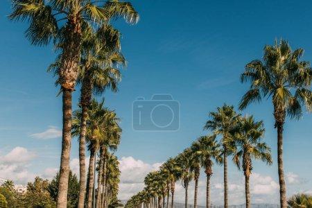 Photo pour Allée de promenade avec des palmiers verts contre ciel bleu - image libre de droit
