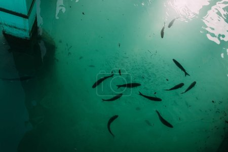 Photo for Top view of fish swimming in mediterranean sea - Royalty Free Image