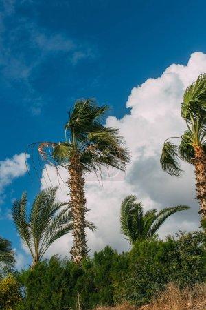 Photo pour Palmiers verts contre ciel bleu avec nuages - image libre de droit