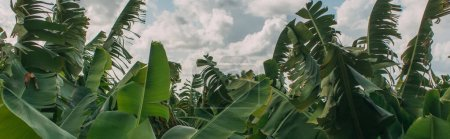 Photo pour Plan panoramique de feuilles de palmier vert contre le ciel - image libre de droit