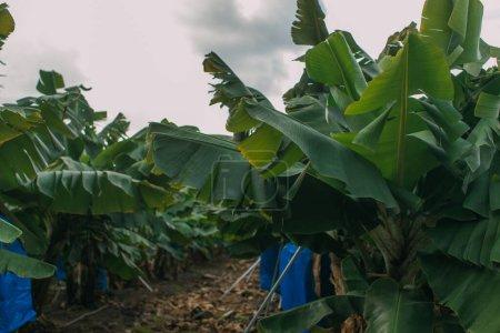 Photo pour Foyer sélectif des feuilles vertes des palmiers - image libre de droit