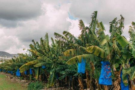 Photo pour Palmiers verts contre ciel gris nuageux - image libre de droit
