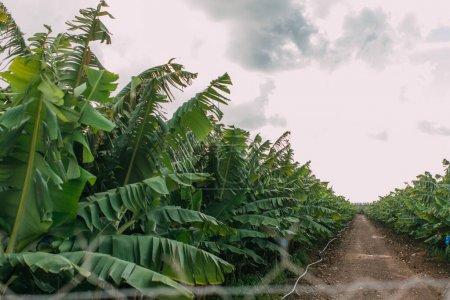 Photo pour Orientation sélective du sentier près des palmiers verts - image libre de droit