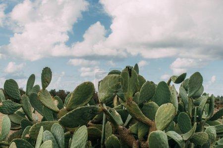 Foto de Cactus verdes con picos contra el cielo azul con nubes - Imagen libre de derechos