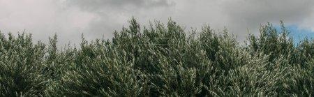 Photo pour Plan panoramique de plantes fraîches et vertes contre le ciel avec des nuages - image libre de droit