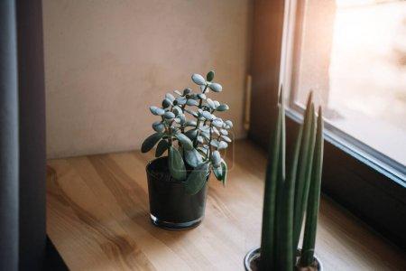 planta de jade en maceta y sansevieria creciendo en el alféizar de la ventana