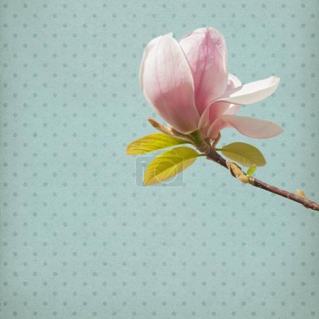Photo for Magnoila Flowers in front of old, shabby chic paper background - Royalty Free Image