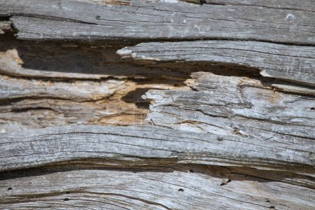 Photo for Rotten wood texture of an old dead tree can be used as background - Royalty Free Image
