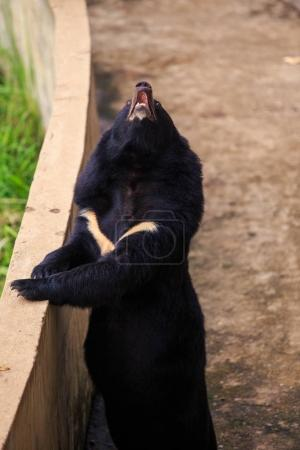 closeup large black bear stands on back paws by barrier and looks upwards in zoo of tropical park in Vietnam
