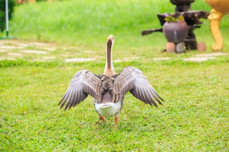 Backside Goose with Spread Wings on Grass