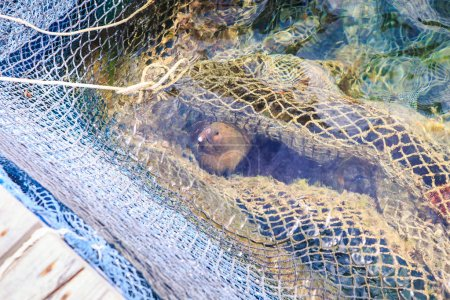 Closeup Fish in Artificial Pond of Nets