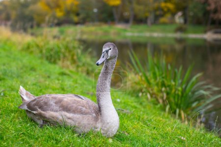 Gray Swan rests in grass