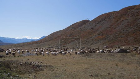 Goats graze in Altai mountains, Russia.