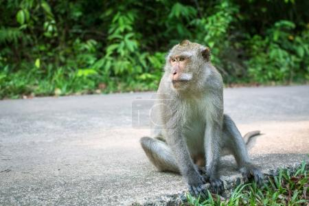 Monkey sitting on a road. Travel and tourism in Southeast Asia.