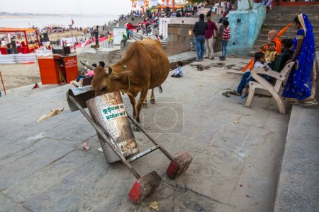 VARANASI, INDIA - MAR 26, 2018: Cow eating from a trash can near the shore of the Ganges. Cows in India are considered sacred animals.