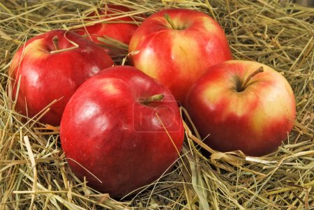 ripe red apples in dry grass close up
