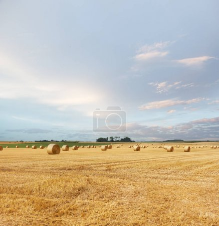 Photo for Yellow golden straw bales of hay in the stubble field, summer landscape under a blue sky with clouds - Royalty Free Image