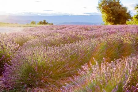 Photo for Blossoming lavender fields in Provence, France. On summer sunny day. - Royalty Free Image