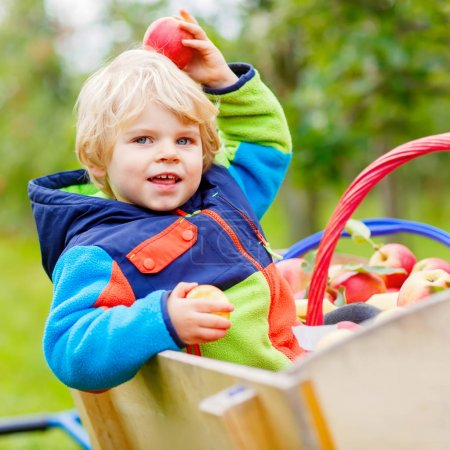 Photo for Adorable blond funny toddler boy of two years picking and eating red apples on organic farm, outdoors. Little kid having fun with helping and harvest - Royalty Free Image