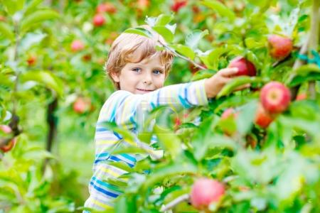 Photo for Adorable happy kid boy picking and eating red apples on organic farm, autumn outdoors. Funny little preschool child having fun with helping and harvesting - Royalty Free Image